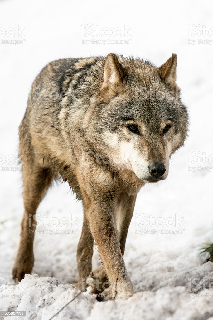 Close up of running wolf at snow stock photo