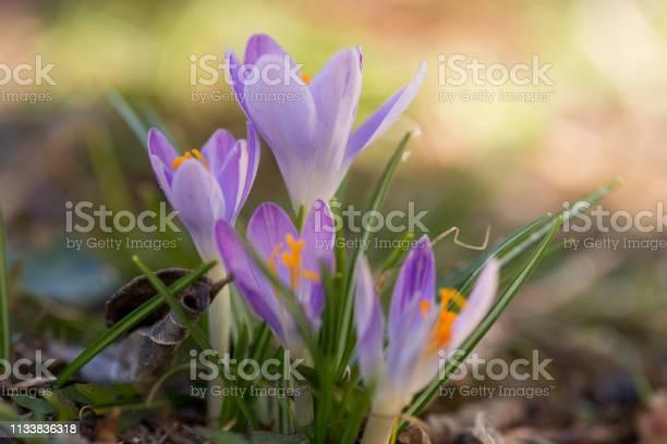Close up of saffron flowers in a field picture id1133836318?b=1&k=6&m=1133836318&s=612x612&h=lvppnzw dkji6mlbxpfmjj1tnlx2inqcvk88za 40lg=