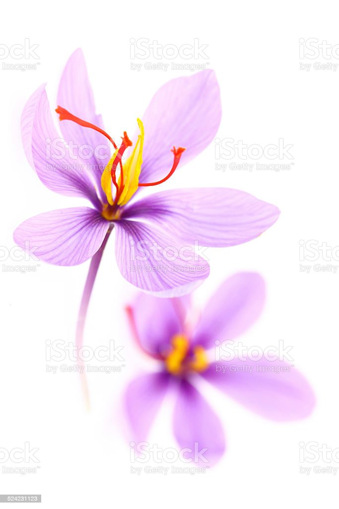 Close up of saffron flowers isolated on white background stock photo