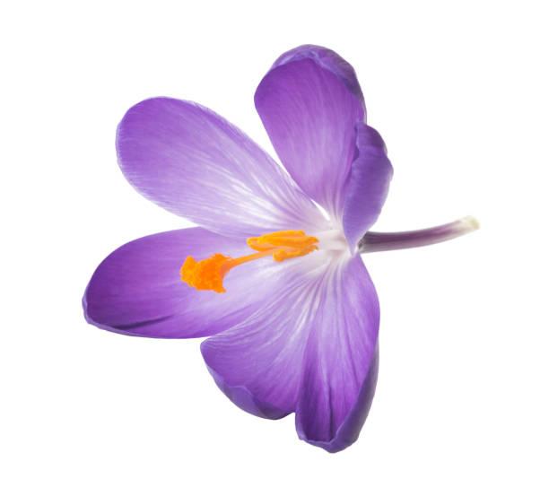 närbild av saffran blommor isolerad på vit bakgrund - saffron on white bildbanksfoton och bilder