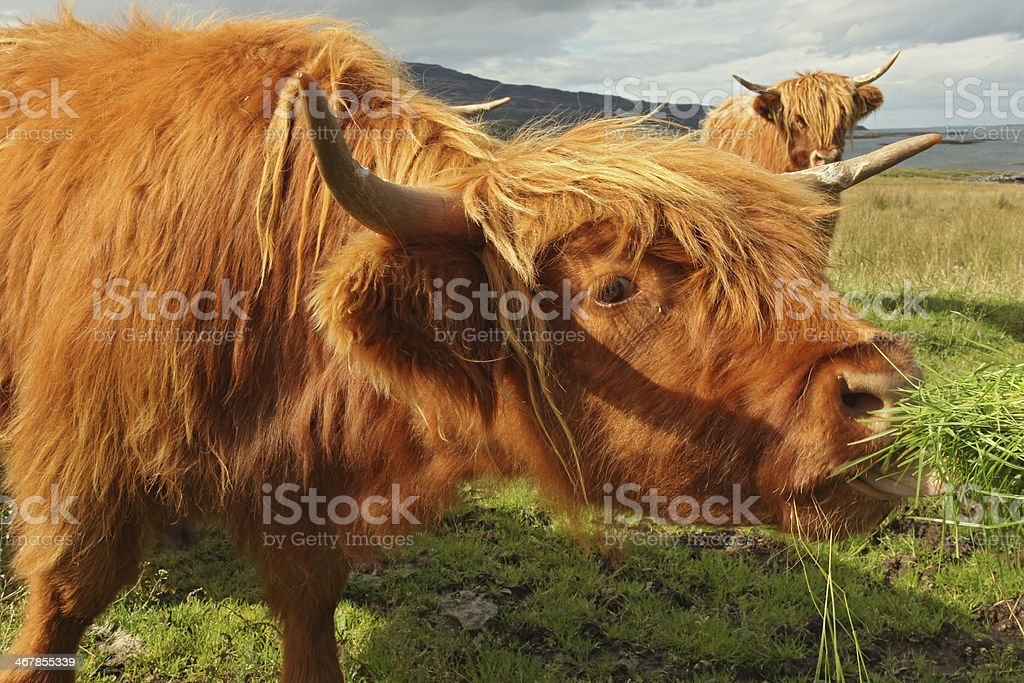 Close up of scottish highland cow in field stock photo