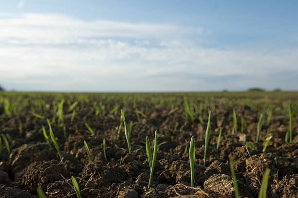 Close up of seedlings in crop field stock photo