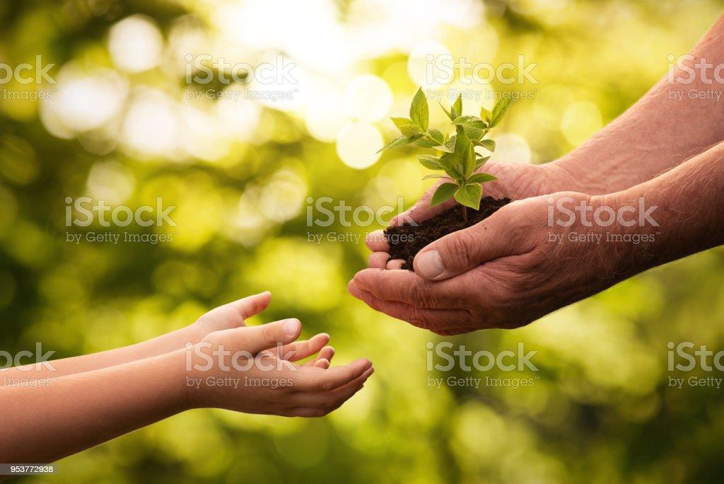 Nahaufnahme von senior Hände er kleine Pflanze für ein Kind – Foto