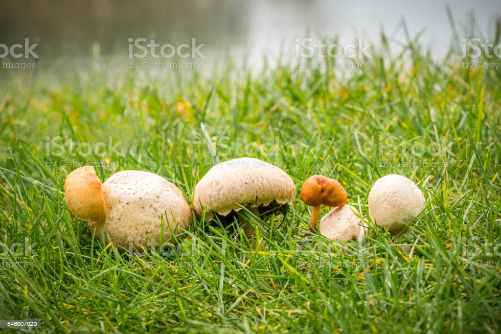 Close up of several fungus in a row on green autumn grass, beautiful selective focus. royalty-free stock photo