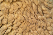 Close up of sheep wool brown skin pattern texture background of lamb, or sheep fleece in farm at zoo park in rural area. Wild mammal animal in nature. Soft raw material for clothes or carpet.