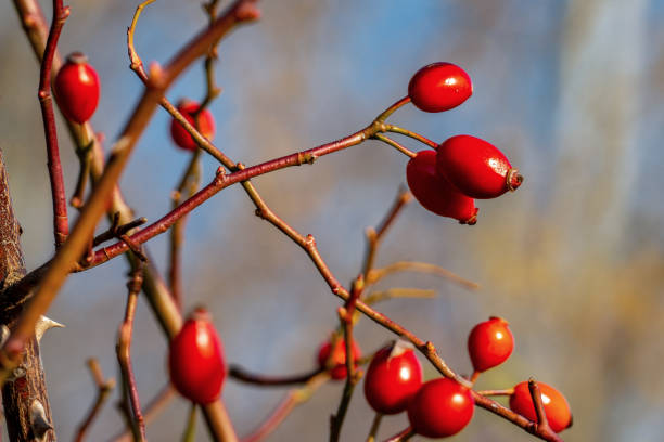 Close up of shiny red rose hips on a sunny autumn day Close up of isolated shiny red rose hips on a sunny autumn day with a light blue bokeh background dog rose stock pictures, royalty-free photos & images