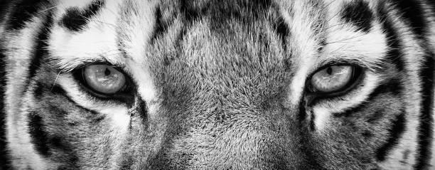 Close up of Siberian Tiger Eyes stock photo