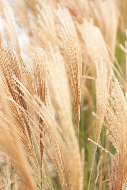 close up of silver grass - chinaschilf stock-fotos und bilder