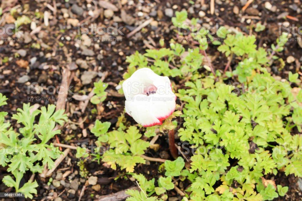 Close up of single little red and white tulip , Yamanashi, Kawaguchiko royalty-free stock photo