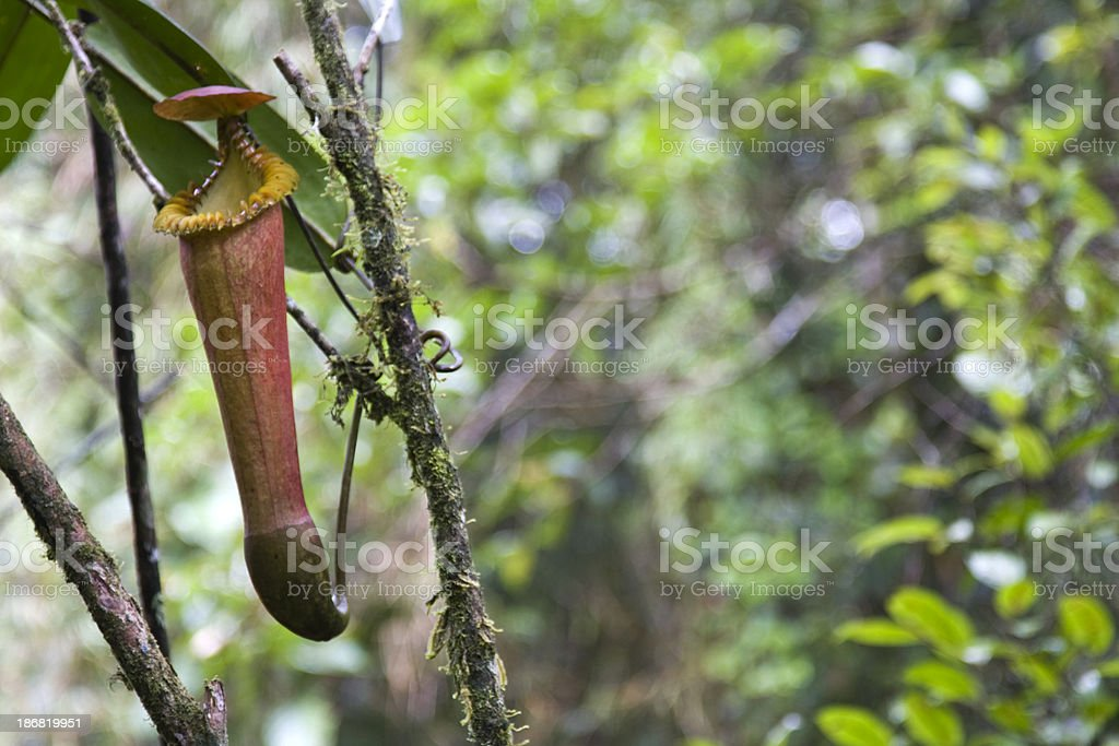 Close up of single pitcher plant with open lid stock photo