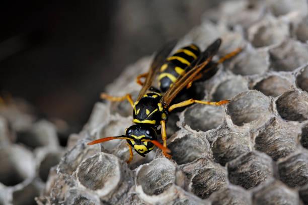 feche acima da única vespa entre pilhas de papel do hexágono - vespa comum - fotografias e filmes do acervo