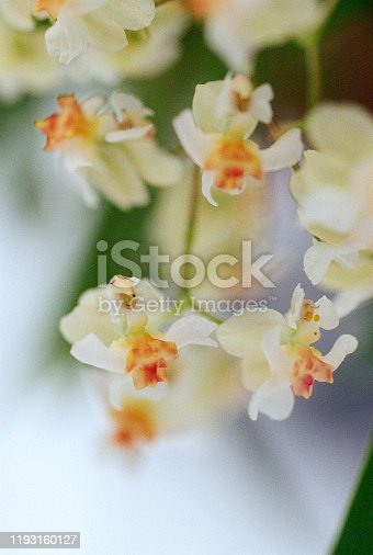 Close up of small orchid flowers on white background