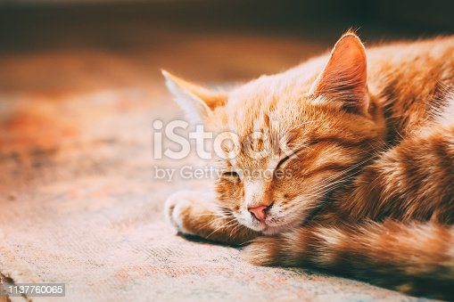 Close up of Small Peaceful Orange Red Tabby Cat Male Kitten Curled Up Sleeping In His Bed On Laminate Floor. Heat in house.