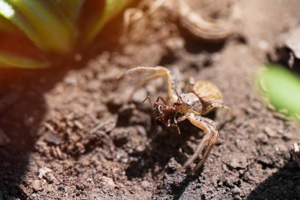 close up of small spider eats ant in the garden - ragno violino foto e immagini stock