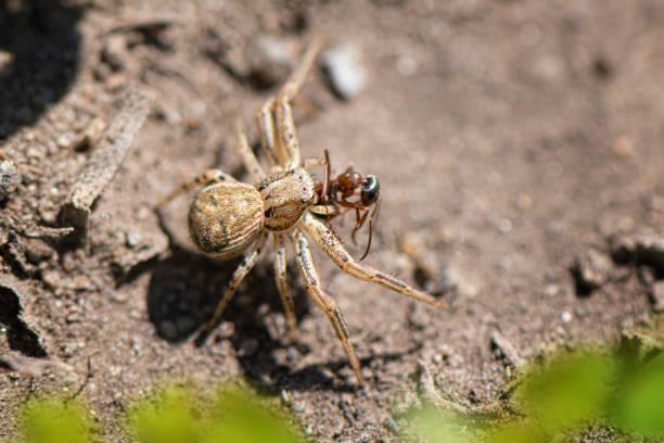 close up of small spider in the garden - ragno violino foto e immagini stock