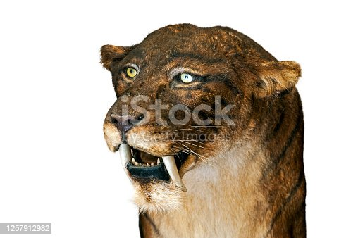 Close up of Smilodon, extinct saber-toothed cat against white background