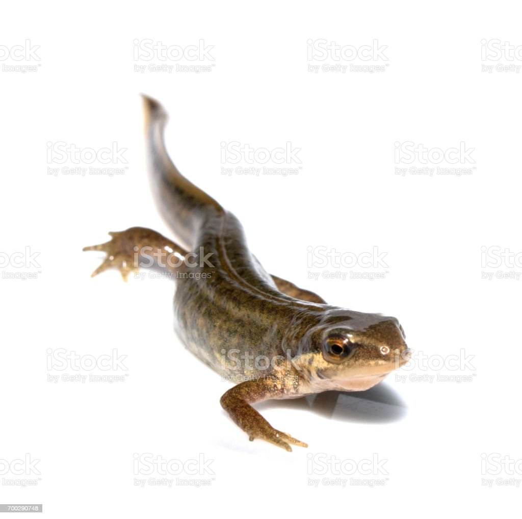 Close Up of Smooth Newt On White Background stock photo