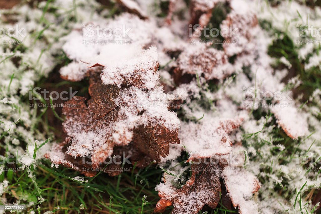 Close up of snow covered autumn leaves stock photo