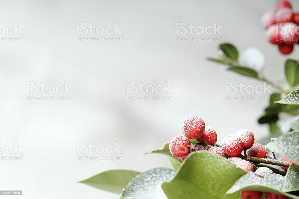 Close up of snow dusted holly branches stock photo