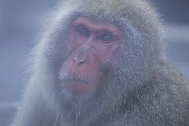 Close Up Of Snow Monkey stock photo