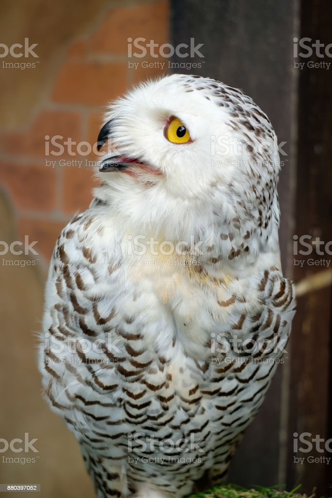 Close up of snowy owl stock photo