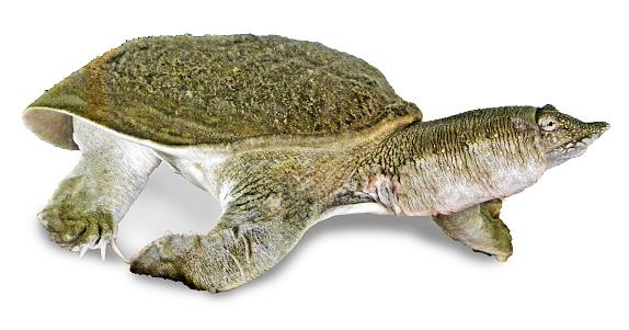 Closeup Van Softshell Schildpadden Stockfoto en meer beelden van Achtergrond - Thema