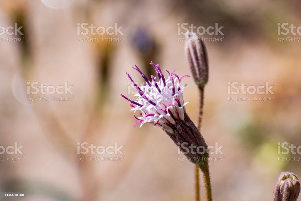 Close up of Spanish Needles wildflower, Anza Borrego Desert State...