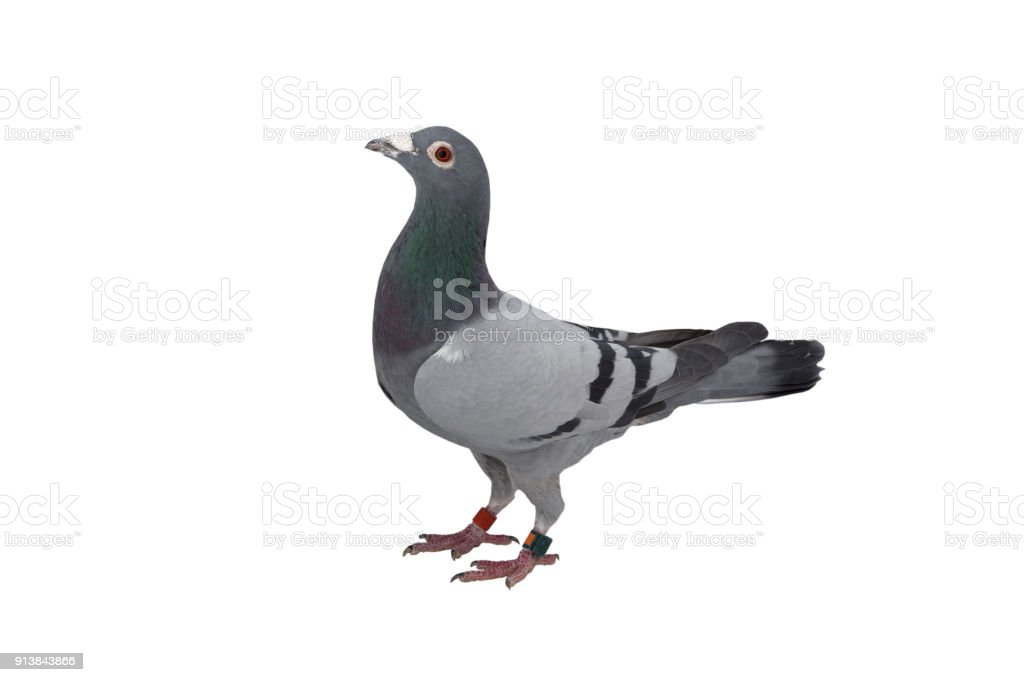 Close Up Of Speed Racing Pigeon Bird Isolate White Background Stock