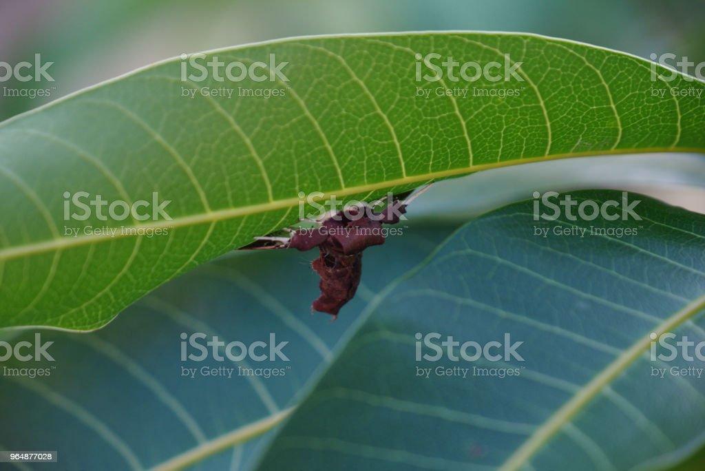 Close up of spider moth on mango tree leaf royalty-free stock photo