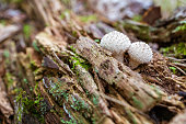 Lycoperdon echinatum, commonly known as the spiny puffball or the spring puffball, is a type of puffball mushroom in the genus Lycoperdon.