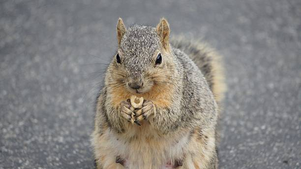 Close up of Squirrel holding food in hand stock photo