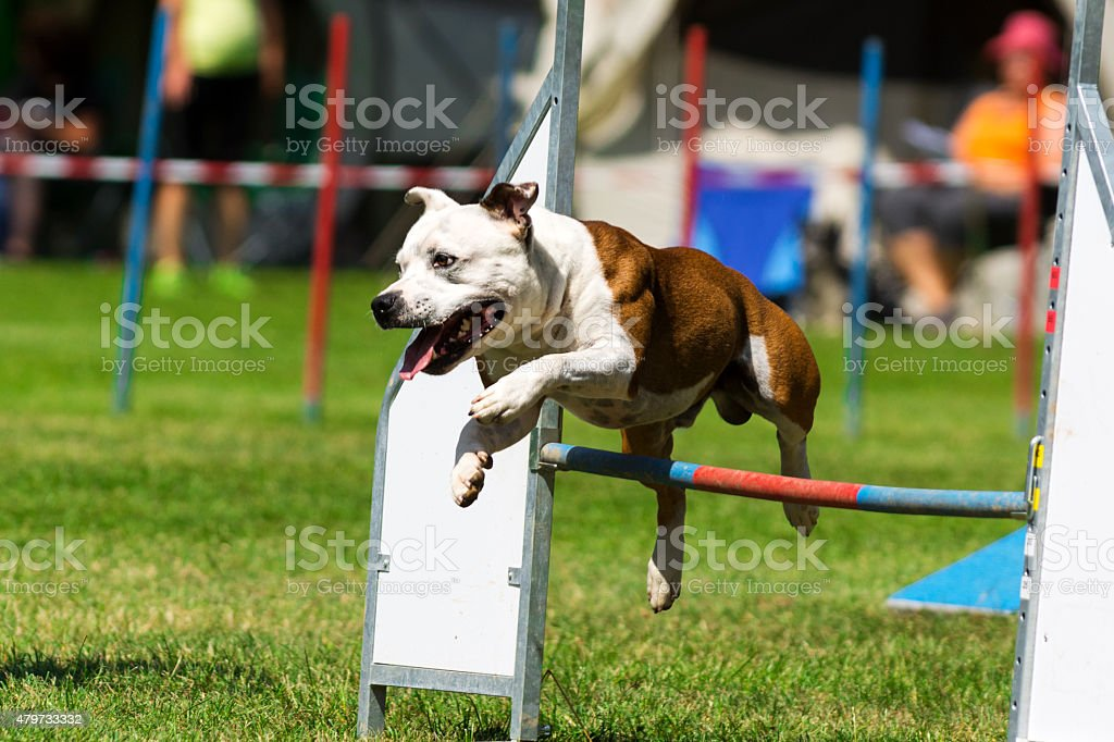 Close up of Staffordshire Terrier on agility course (single hurdle) stock photo