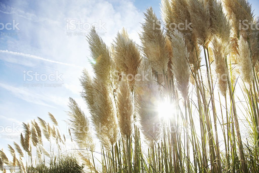 Close up of stalks of wheat outdoors stock photo
