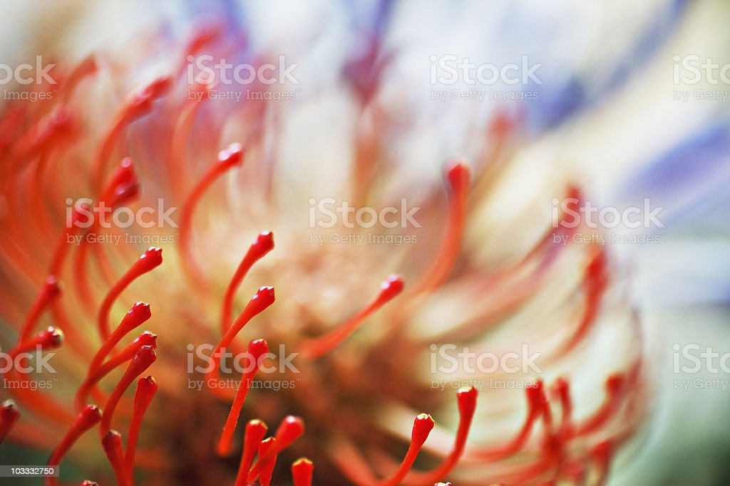 Close up of stamen on red flower royalty-free stock photo