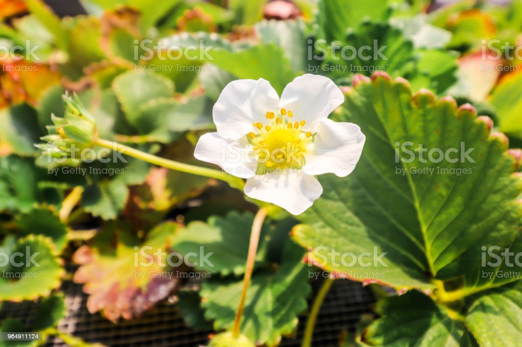 Close up of strawberry flower and leaves in strawberry farm,Chiba, japan royalty-free stock photo