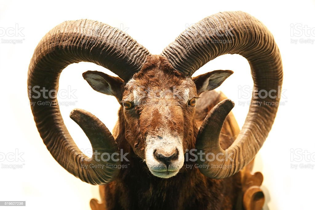 Close up of stuffed male mouflon with big curved horns stock photo