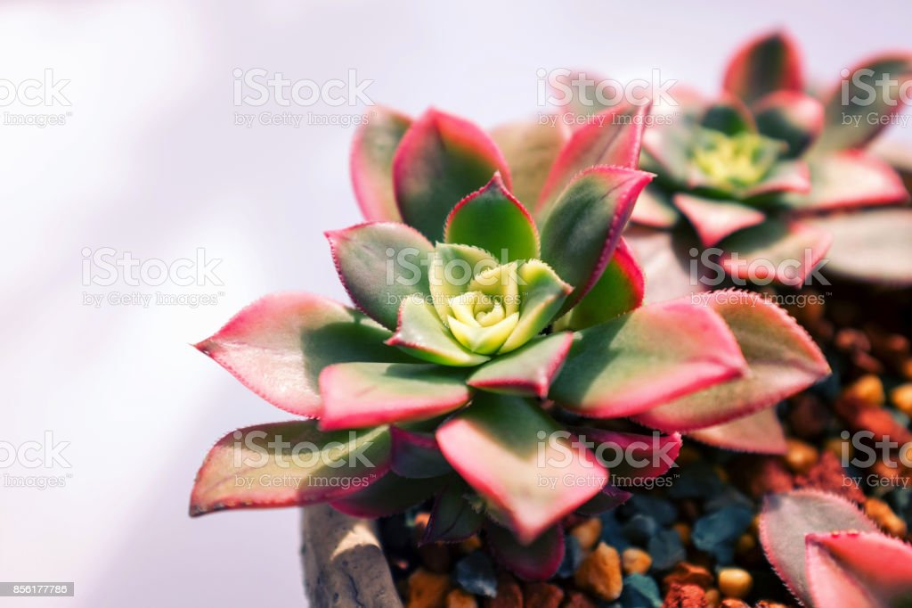 Close up of succulent plants backgruond stock photo