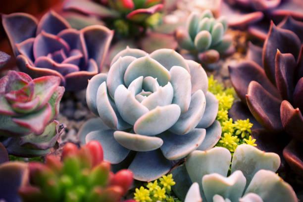 gros plan de succulentes plantes mis backgruond - plante grasse photos et images de collection