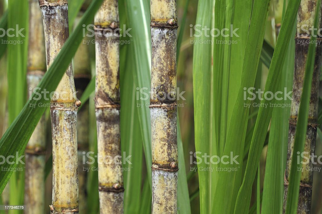 Close up of sugarcane plant stock photo