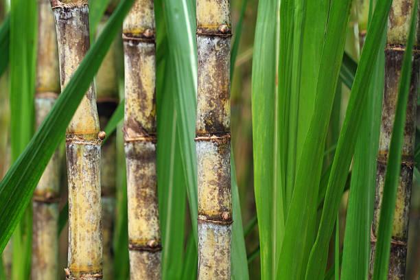Close up of sugarcane plant Closeup of sugar cane plantation sugar cane stock pictures, royalty-free photos & images