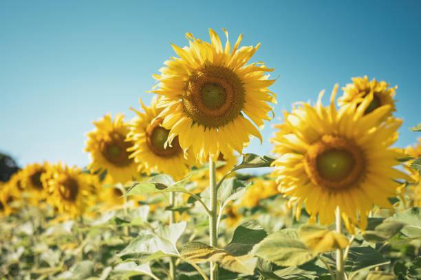 Close up of sun flower against a blue sky on vintage warm tone picture id1295767082?b=1&k=6&m=1295767082&s=612x612&w=0&h=vbb1 4zzebor5gktgrfswryumu5ftkfk0c6ec2a bdc=