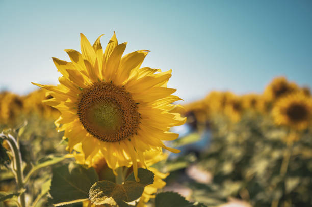 Close up of sun flower against a blue sky on vintage warm tone picture id1295767084?b=1&k=6&m=1295767084&s=612x612&w=0&h=aeflbxn8p5 guzzwr7  cxvs dyu019pupdjvbtl4v0=