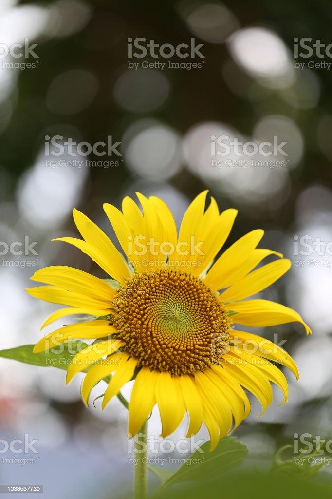 Close up of sunflower stock photo