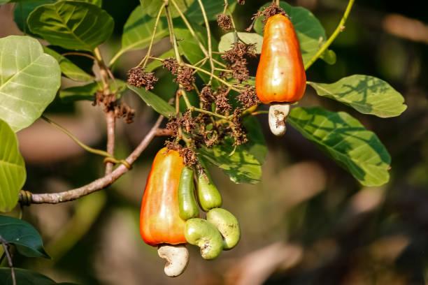 Nahaufnahme von sonnenbeschienenen roten Früchten eines Cashewbaumes im Amazonas-Regenwald vor dunklem Hintergrund, San Jose do Rio Claro, Mato Grosso, Brasilien – Foto