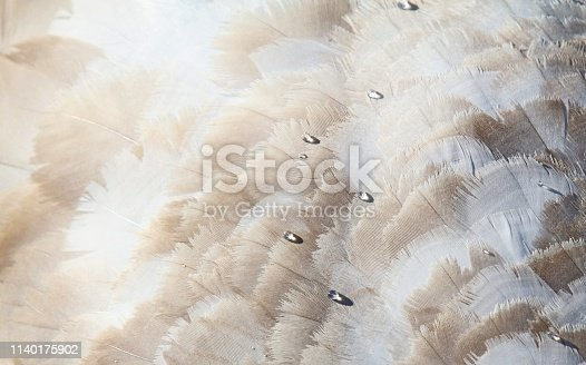 close up of young swan's feathers ,feathers still have brown tips until the swan reaches adulthood , nature background