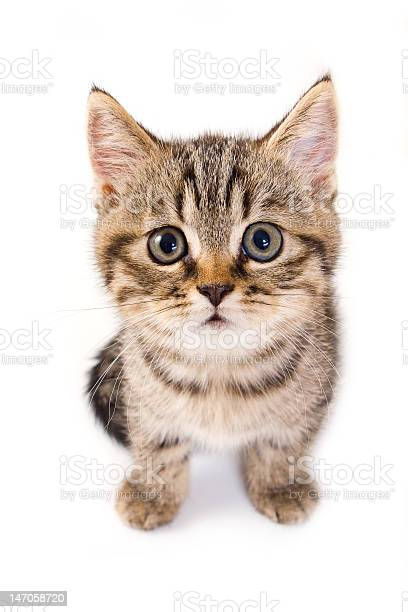Close up of tabby kitten on white background picture id147058720?b=1&k=6&m=147058720&s=612x612&h=fzarzoamh0zgmcraxjt5oua1fgmrkapuqacfjvqvqos=