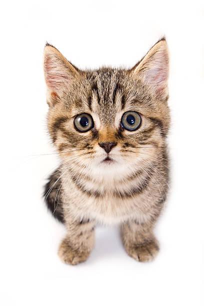 Close up of tabby kitten on white background picture id147058720?b=1&k=6&m=147058720&s=612x612&w=0&h=9s5 jwqmhkm2udooua0vszikgevmudqd0biz9z5t51w=