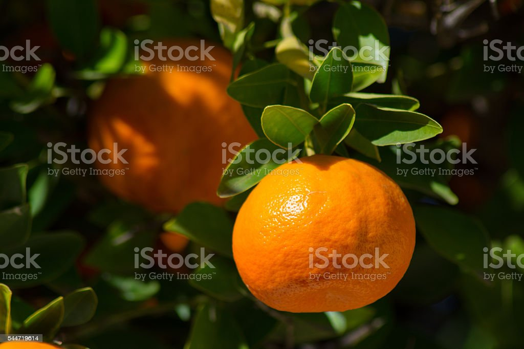 Close up of tangerine on a branch stock photo