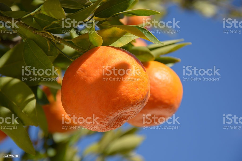 Close up of tangerine on a tree stock photo