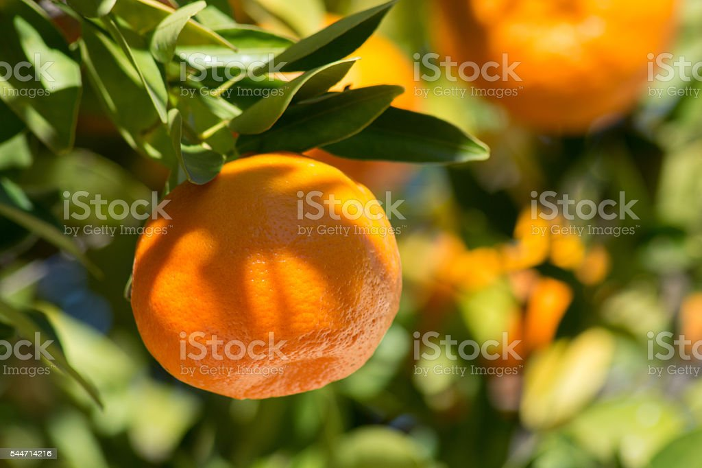 Close up of tangerine or mandarin on a leafy branch stock photo
